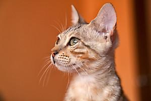 Кот Зигфрид