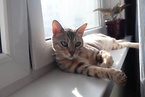 Кот Зигфрид отдыхает