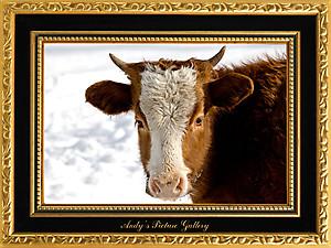 Гузерипльский бык