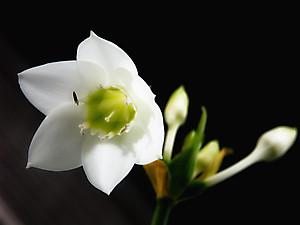 Бабушкин цветок