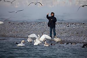 Человек кормит лебедей зимой